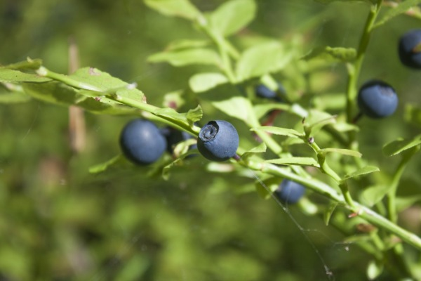 Fresh blue bilberries, vaccinium myrtillus, in the blueberry forrest